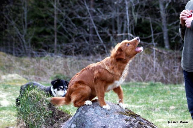 hundar som skäller